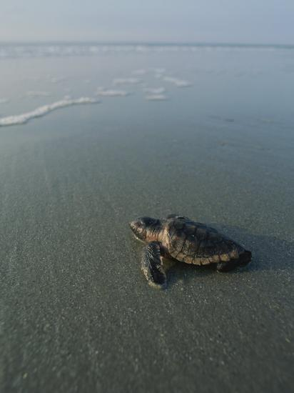 A Newly-Hatched Loggerhead Sea Turtle Heads for the Water-Michael Melford-Photographic Print