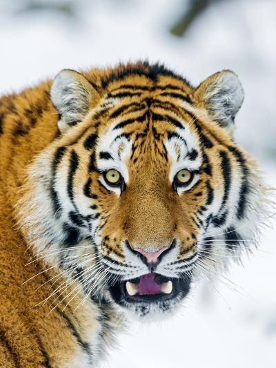 A Nice Portrait-Picture by Tambako the Jaguar-Photographic Print