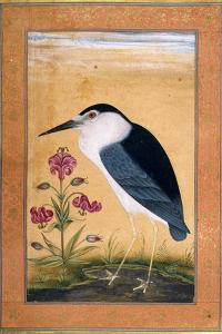 A Night Heron
