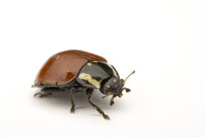A No Spotted Lady Bird Beetle, Cycloneda Sanguinea, Collected in the Wild.-Joel Sartore-Photographic Print