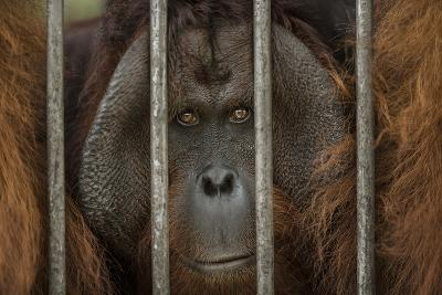 A Non-Releasable Male Orangutan at the International Animal Rescue Center-Timothy Laman-Photographic Print