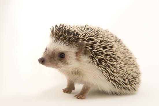 A North African hedgehog, Atelerix algirus, at the Virginia Aquarium.-Joel Sartore-Photographic Print
