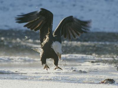 A Northern American Bald Eagle Lunges Down Toward the Water to Grasp a Fish with its Talons-Norbert Rosing-Photographic Print