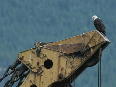 A Northern American Bald Eagle Sits Atop a Construction Vehicles Highest Point-Norbert Rosing-Photographic Print