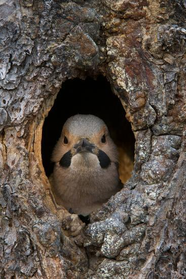 A Northern Flicker in the Hollow of a Tree-Michael Quinton-Photographic Print