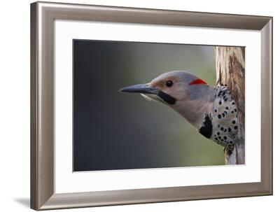 A Northern Flicker in the Hollow of a Tree-Michael Quinton-Framed Photographic Print