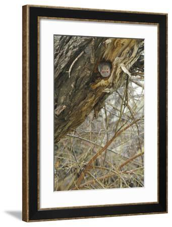 A Northern Flicker Sits in a Nest Hole in an Old Tree-Michael Forsberg-Framed Photographic Print