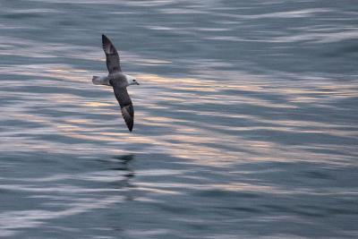 A Northern Fulmar, Fulmarus Glacialis, Flying over Iceland's North Atlantic-Michael Melford-Photographic Print