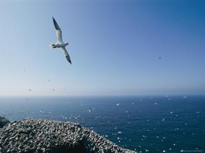 A Northern Gannet Soars High Above a Rookery-Michael S^ Lewis-Photographic Print