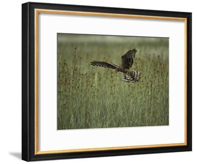 A Northern Harrier Hawk Clutches an Insect in its Talons-Klaus Nigge-Framed Photographic Print