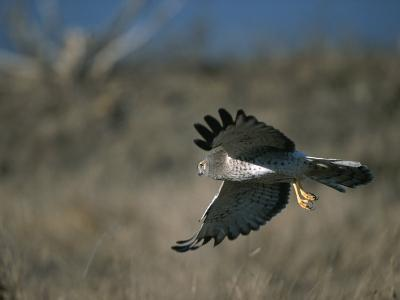 A Northern Harrier Hawk in Flight-Roy Toft-Photographic Print