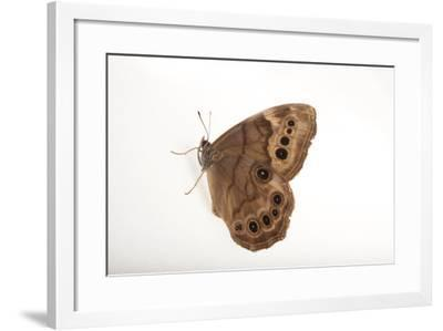 A Northern Pearly-Eye, Enodia Anthedon, from Cross Lake, Minnesota-Joel Sartore-Framed Photographic Print