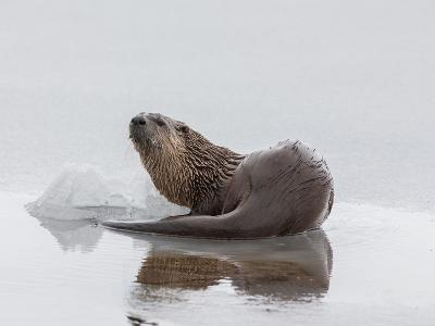A Northern River Otter Looks Up from Icy Waters-Tom Murphy-Photographic Print