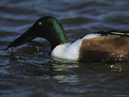 A Northern Shoveler Feeds by Straining Water Through its Bill-Tim Laman-Photographic Print