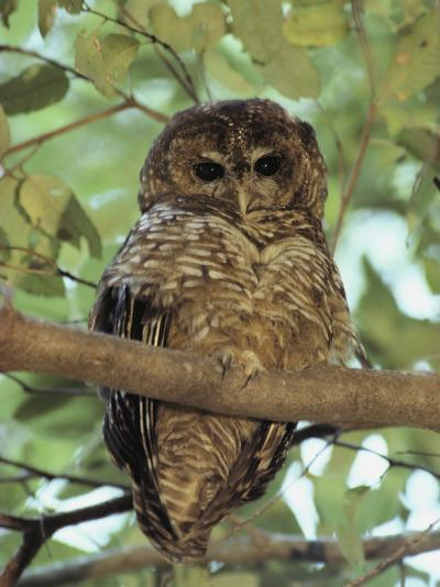 A Northern Spotted Owl (Strix Occidentalis) Peers from a Tanoak Tree-Paul Chesley-Photographic Print