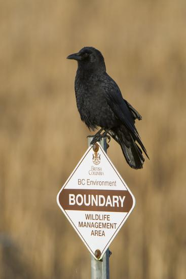 A Northwestern Crow, Corvus Caurinus, Perched on a Government Sign-Paul Colangelo-Photographic Print