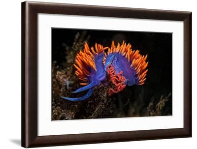 A Nudibranch Laying Eggs-Cesare Naldi-Framed Photographic Print