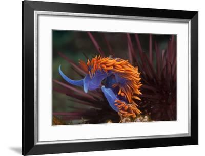 A Nudibranch Trapped by a Sea Urchin-Cesare Naldi-Framed Photographic Print