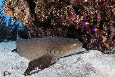 A Nurse Shark Rests on the Seafloor of Turneffe Atoll-Stocktrek Images-Photographic Print