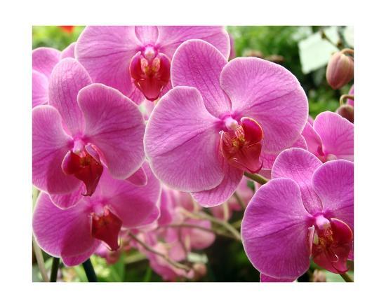 A Orchids I-Ricki Mountain-Giclee Print