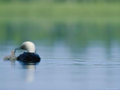 A Pacific Loon Feeds its Chick on a Serene Lake in Alaska--Photographic Print