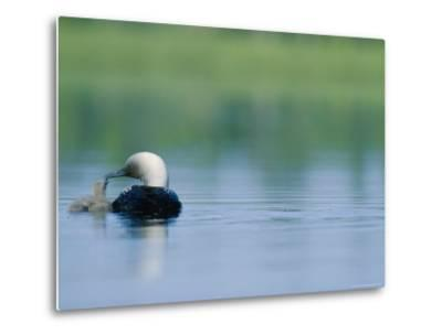 A Pacific Loon Feeds its Chick on a Serene Lake in Alaska
