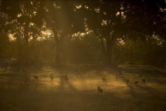 A Pack of African Wild Dogs, Lycaon Pictus, Walk and Play in the Dust at Sunset-Beverly Joubert-Photographic Print