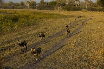 A Pack of African Wild Dogs, Lycaon Pictus, Walking on a Dirt Road-Beverly Joubert-Photographic Print