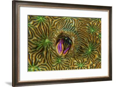 A Pagurid Hermit Crab Lives in Coral Burrows Made by Tube Worms-David Doubilet-Framed Photographic Print