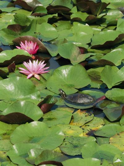 A Painted Turtle Rests on a Water Lily Pad Near Two Pink Flowers-George Grall-Photographic Print
