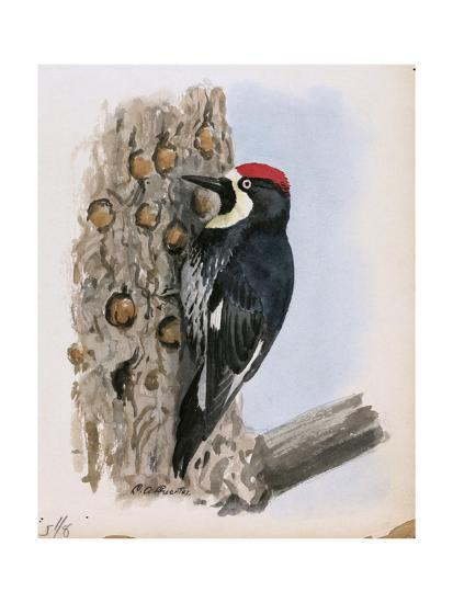 A Painting of a California Woodpecker Clinging to a Tree Trunk-Louis Agassi Fuertes-Giclee Print