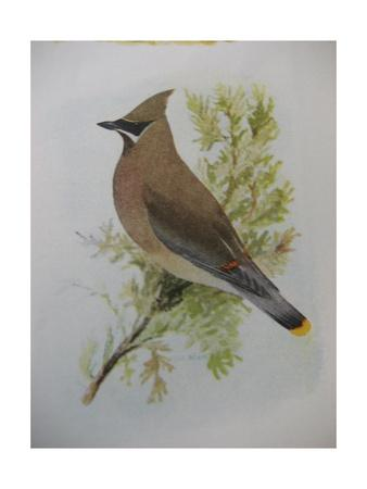 A Painting of a Cedar Waxwing Perched on a Tree Branch-Louis Agassi Fuertes-Giclee Print