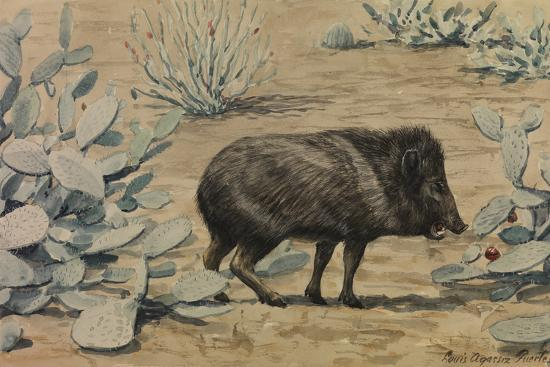 A Painting of a Collared Peccary, also known as a Muskhog, Eating-Louis Agassi Fuertes-Giclee Print