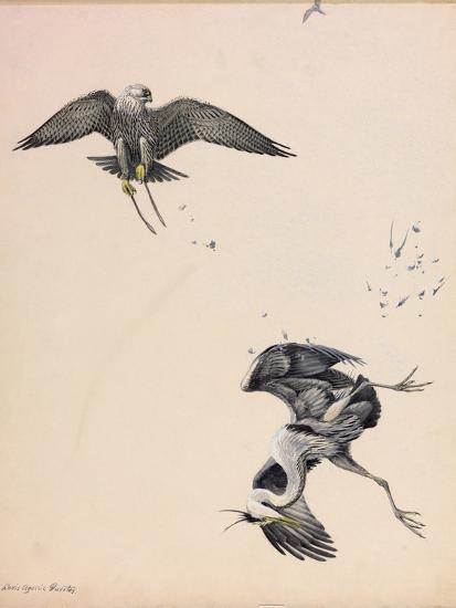 A Painting of a Falcon Striking a Heron in Midair-Louis Agassi Fuertes-Giclee Print