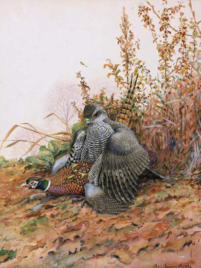 A Painting of a Goshawk as it Attacks a Pheasant-Louis Agassi Fuertes-Giclee Print