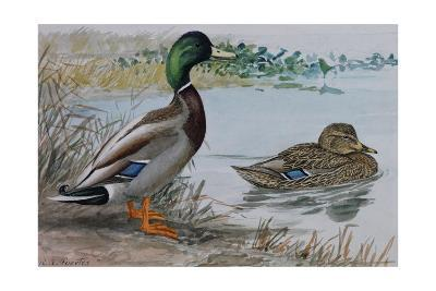 A Painting of a Male and a Female Mallard-Louis Agassi Fuertes-Giclee Print