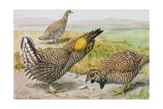 A Painting of a Male and Female Prairie Chicken with a Heath Hen Giclee  Print by Louis Agassi Fuertes   Art com