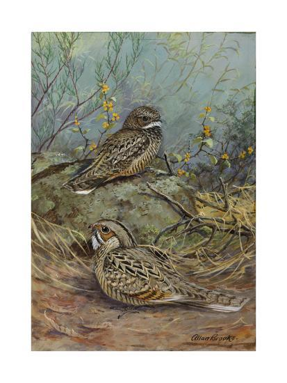 A Painting of a Nuttall's Poorwill and a Merrill's Pauraque-Allan Brooks-Giclee Print