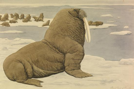 A Painting of a Pacific Walrus Sitting on Ice in Front of the Herd Giclee  Print by Louis Agassi Fuertes | Art com