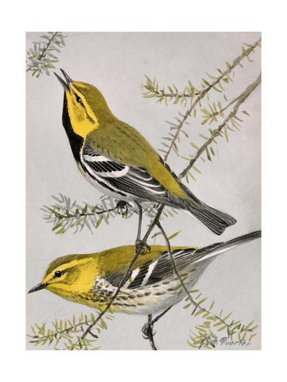 A Painting of a Pair of Black-Throated Green Warblers-Louis Agassi Fuertes-Giclee Print