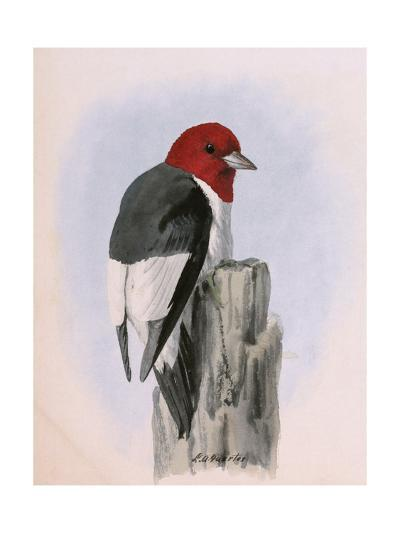 A Painting of a Red-Headed Woodpecker Perched on a Tree Stump-Louis Agassi Fuertes-Giclee Print