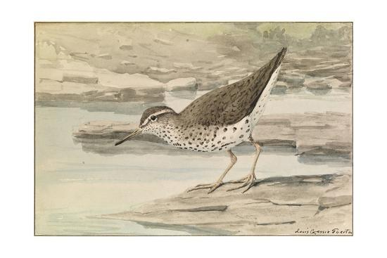 A Painting of a Spotted Sandpiper-Louis Agassi Fuertes-Art Print