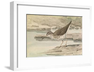 A Painting of a Spotted Sandpiper-Louis Agassi Fuertes-Framed Art Print