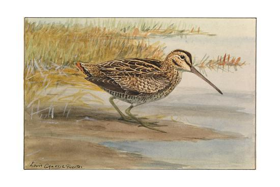 A Painting of a Wilson's Snipe-Louis Agassi Fuertes-Giclee Print