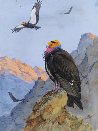 A Painting of Adult and Immature California Condors-Allan Brooks-Giclee Print
