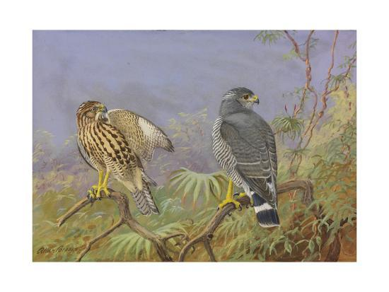 A Painting of Adult and Immature Grey Hawks-Allan Brooks-Giclee Print