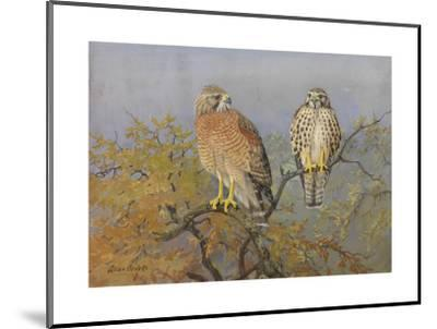 A Painting of an Adult and an Immature Red-Shouldered Hawk-Allan Brooks-Mounted Giclee Print