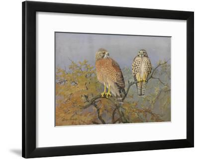 A Painting of an Adult and an Immature Red-Shouldered Hawk-Allan Brooks-Framed Giclee Print