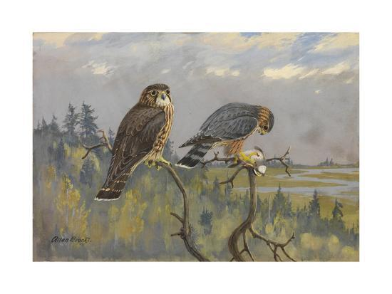 A Painting of an Adult Male and Immature Female Pigeon Hawk-Allan Brooks-Giclee Print