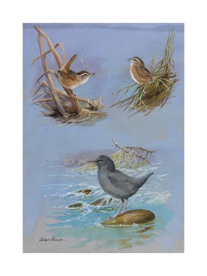 A Painting of an American Dipper, a Marsh Wren, and a Sedge Wren-Allan Brooks-Giclee Print